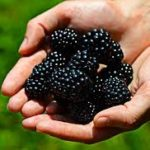 Murele - fructele minune pentru sanatatea ta